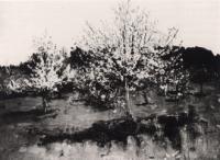 Цветущие яблони 1893